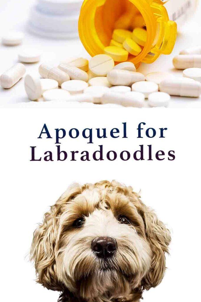 apoquel for labradoodles