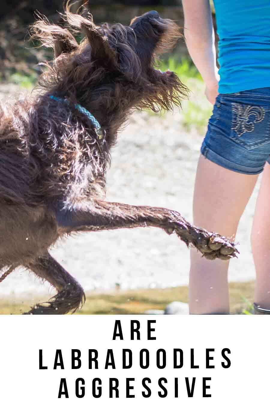 are labradoodles aggressive