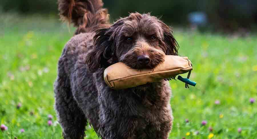are labradoodles hunting dogs