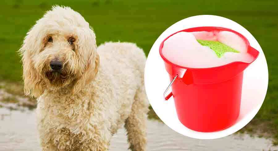 bathing your labradoodle