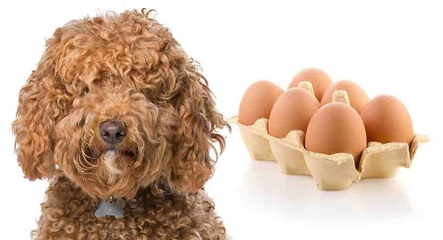 can labradoodles eat eggs