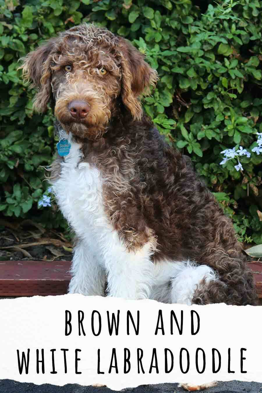 brown and white labradoodle