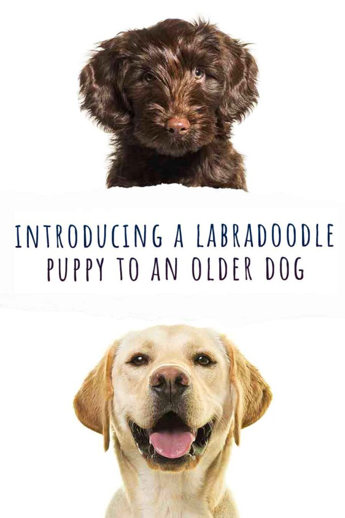 introducing a labradoodle puppy to an older dog