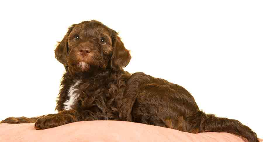 labradoodle puppy first days at home