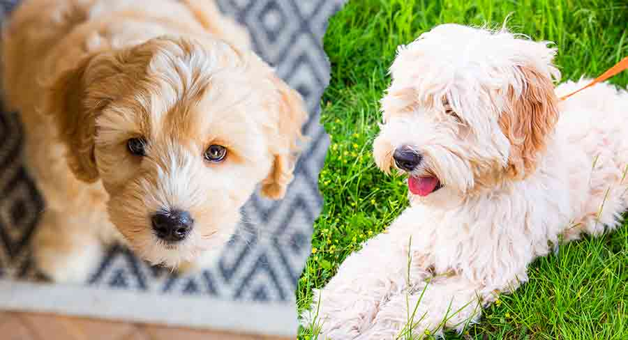 when do labradoodles lose their puppy coat