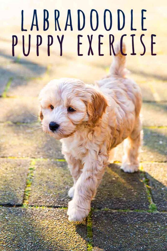labradoodle puppy exercise