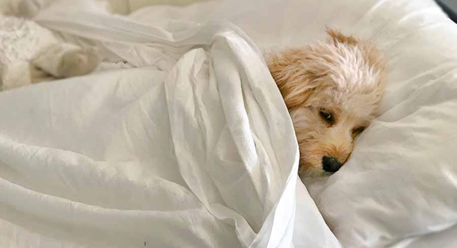 labradoodle sleeping in bed