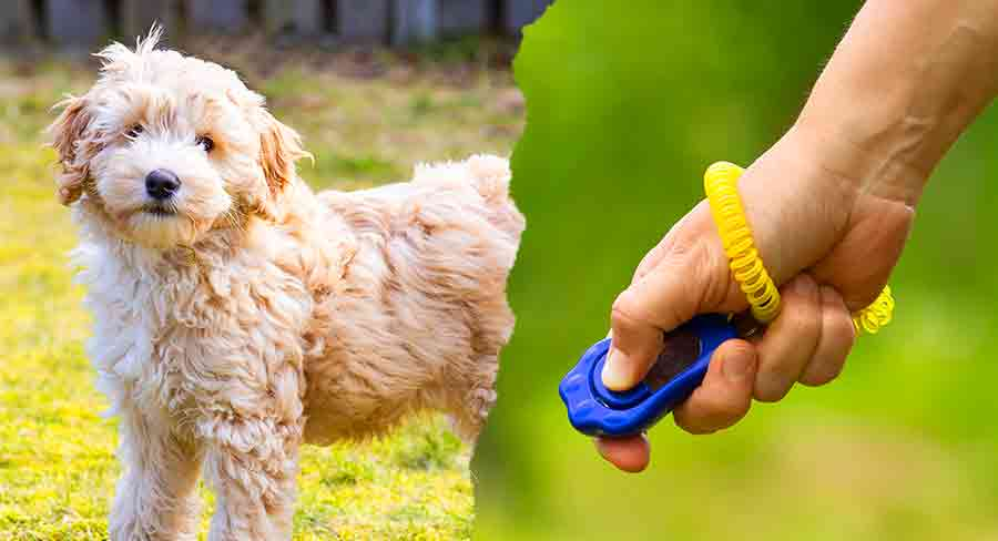 Ages And Stages In Labradoodle Puppy Training LDS long
