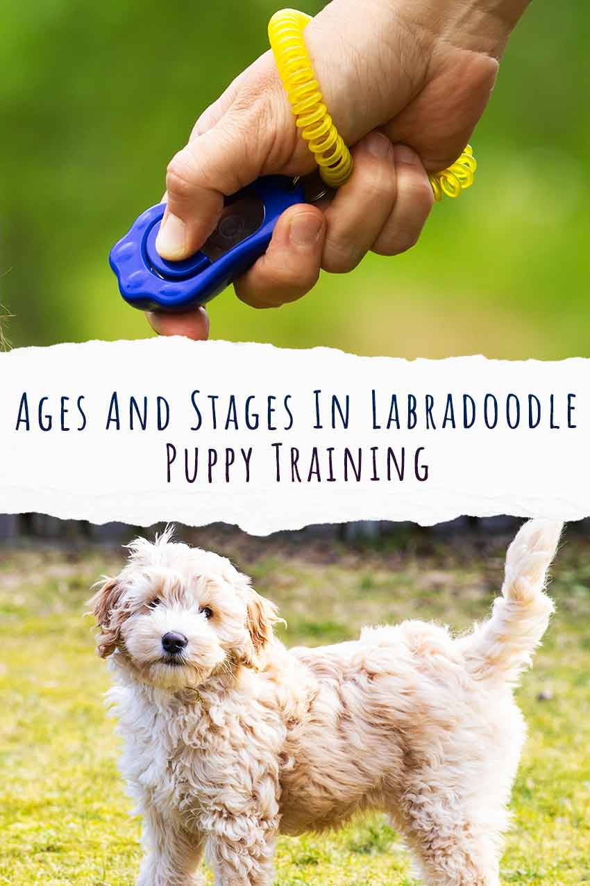 Ages And Stages In Labradoodle Puppy Training
