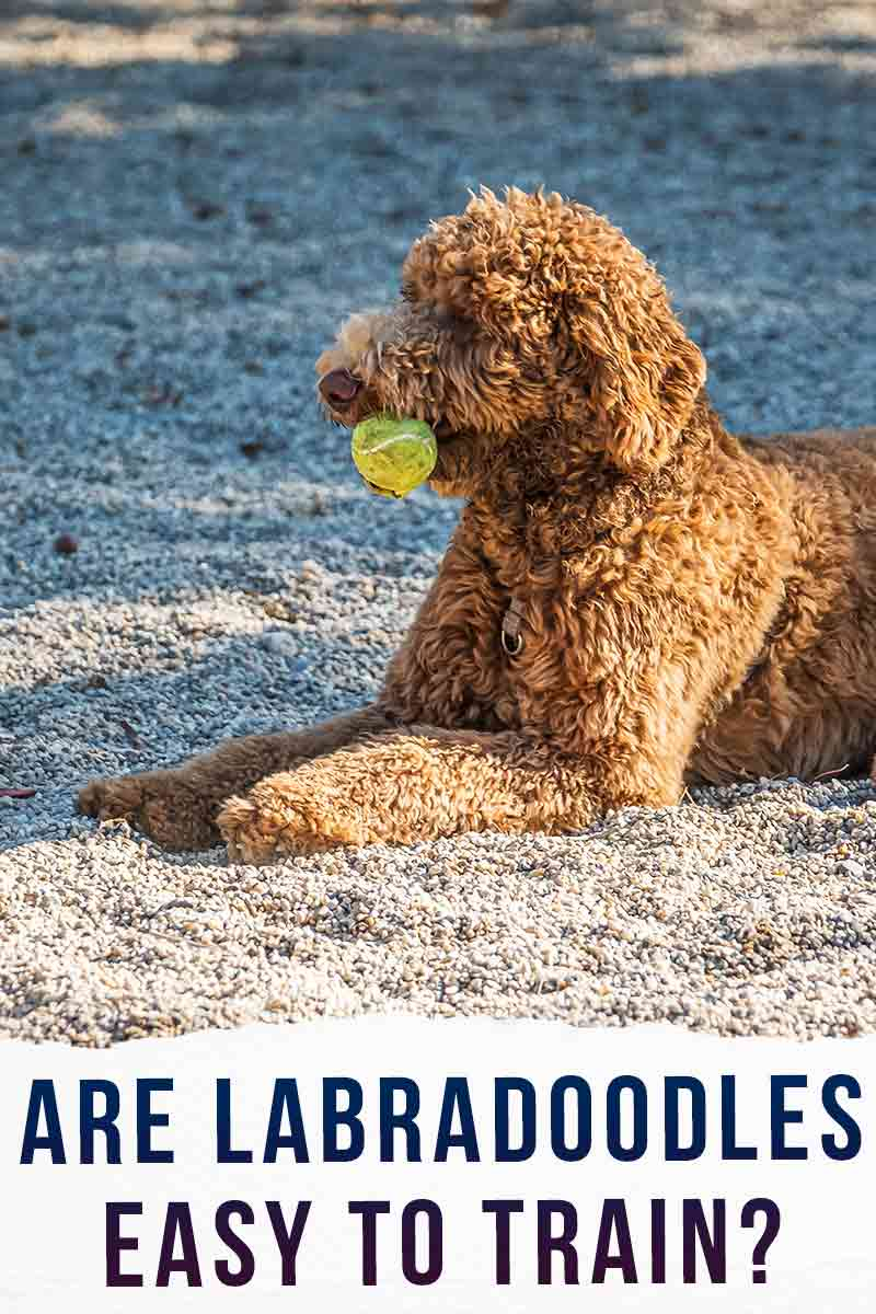 Are Labradoodles Easy To Train LDS long