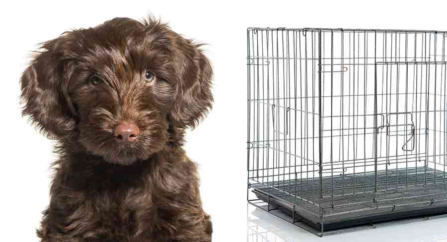 create training a labradoodle puppy