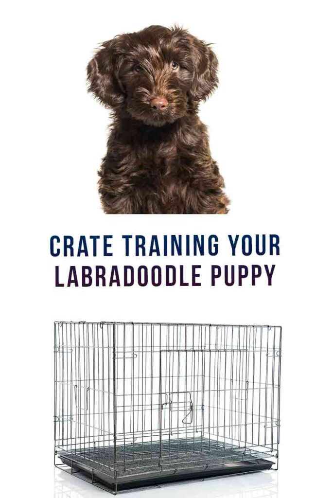 crate training your labradoodle puppy
