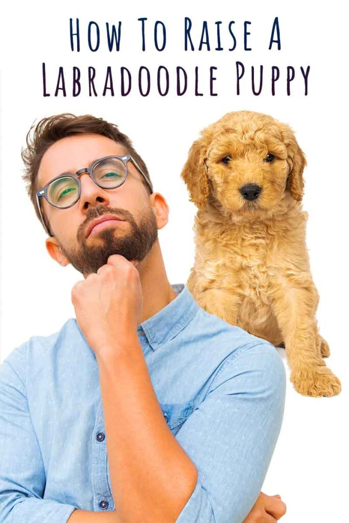 how to raise a labradoodle puppy