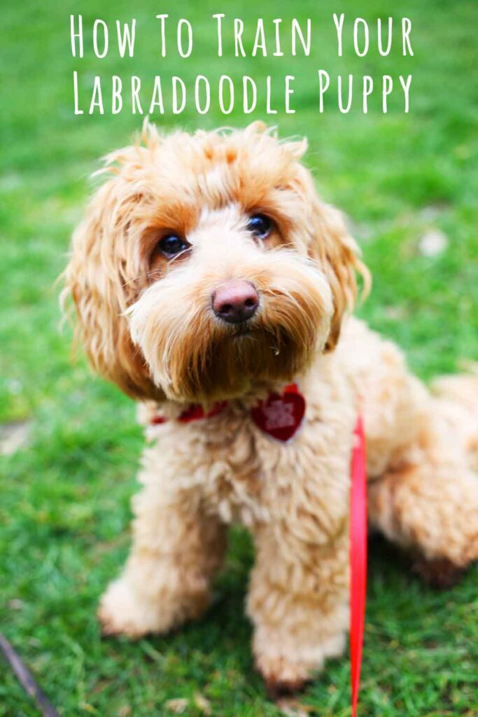 how to train your labradoodle puppy