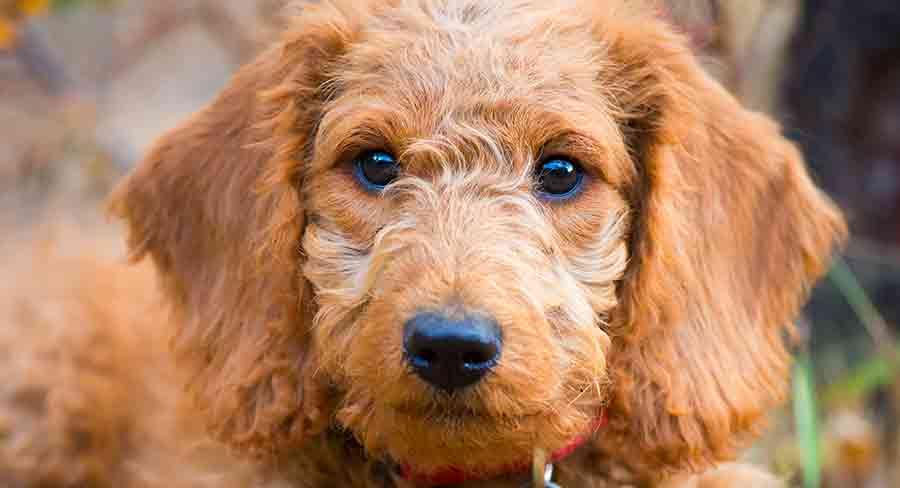 12 week old labradoodle puppy