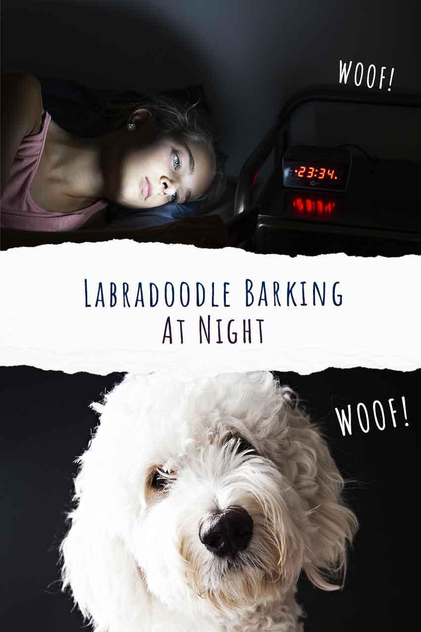labradoodle barking at night