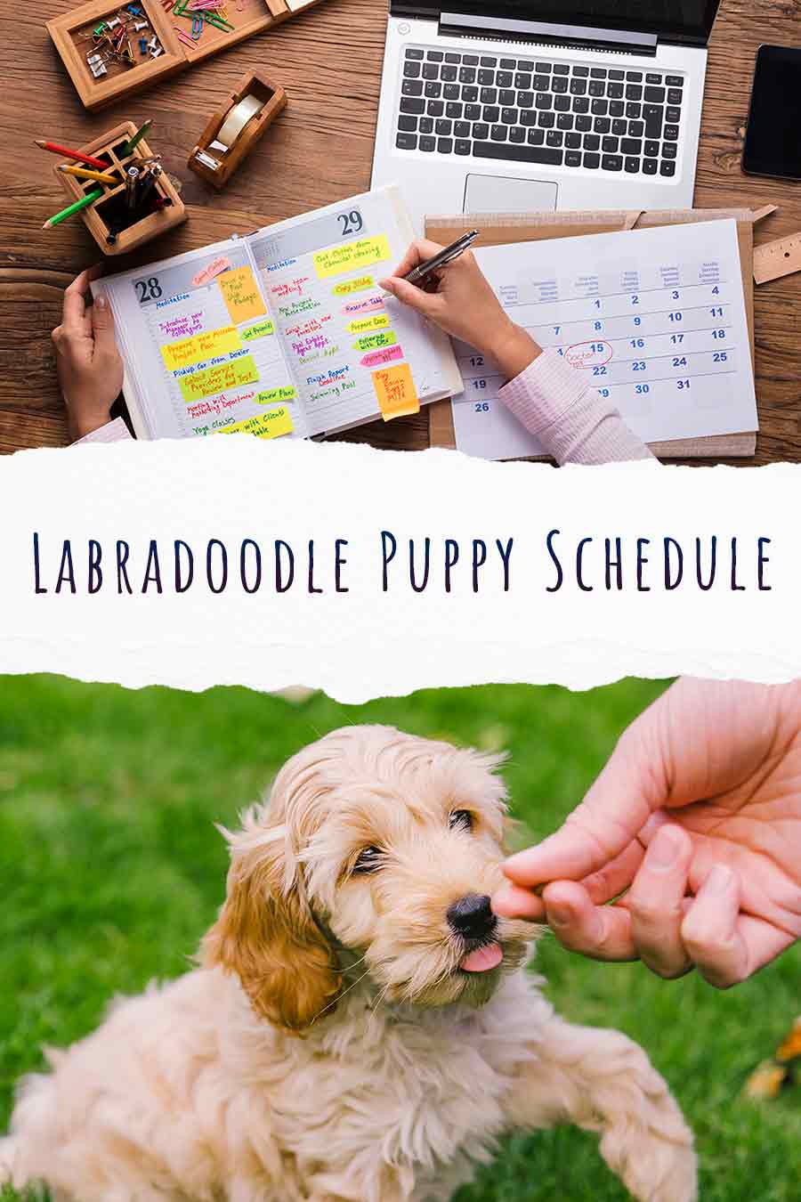 labradoodle puppy schedule