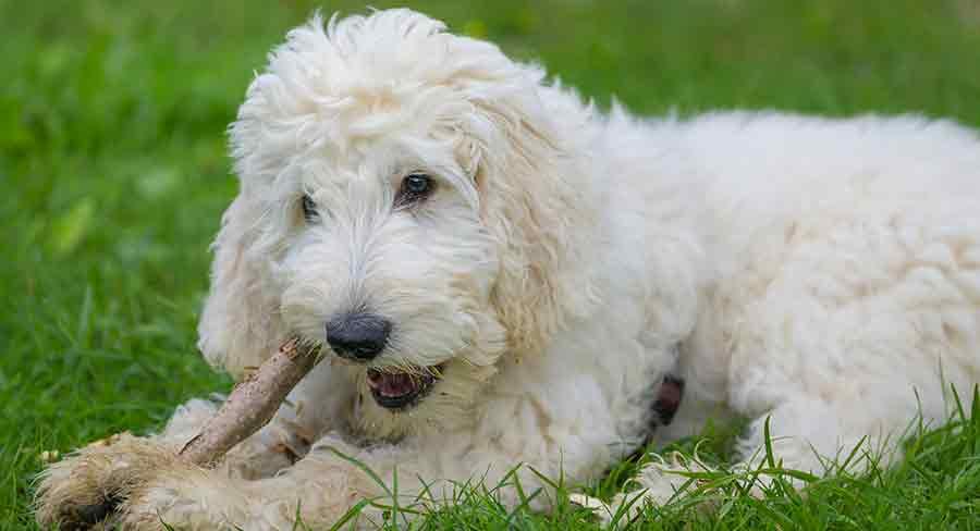 wavy labradoodle puppy